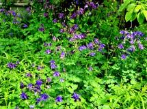 Ancolie de floraison Image libre de droits