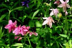 Ancolie de floraison Images libres de droits