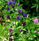 Ancolie de floraison Photographie stock libre de droits