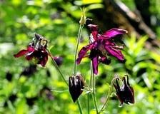 Ancolie de floraison Photo libre de droits