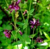 Ancolie de floraison Photos stock