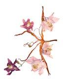 Ancolie multicolore pressée avec les pétales secs expulsés de lis Photo stock