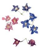 Ancolie multicolore pressée avec les pétales secs expulsés de lis Photo libre de droits