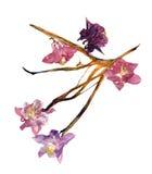 Ancolie multicolore pressée avec les pétales secs expulsés de lis Image stock