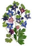 Ancolie multicolore pressée avec les pétales secs expulsés de lis, p Photo libre de droits