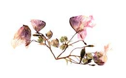 Ancolie multicolore pressée avec les pétales secs expulsés de lis, p Photographie stock