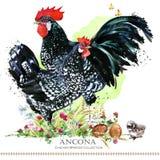 Ancona Chicken breed. Poultry farming. domestic farm bird. Watercolor illustration vector illustration
