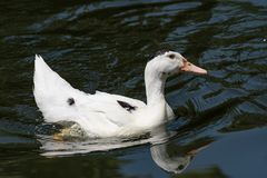Portrait of Ancona Duck swimming in its natural habitat. The Ancona duck is a large dual-purpose duck breed that's beautiful, friendly, excellent at foraging Stock Images