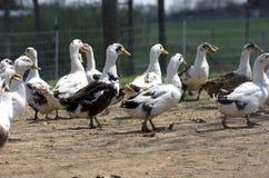 Ancona Ducks Royalty Free Stock Photos