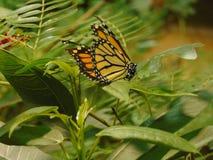 Ancora farfalla Immagine Stock Libera da Diritti