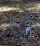 Ancora scoiattolo Immagini Stock