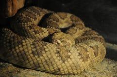 Ancora serpente Fotografia Stock