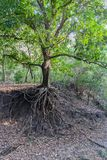 Ancora un albero verde, ma già privo di suolo nell'ambito delle radici dovuto erosione del suolo causata da attività umana immagine stock