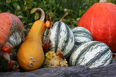 Ancora-vita delle zucche con sfondo naturale fotografia stock libera da diritti