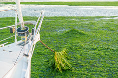 Ancorandosi nel campo dell'alga, Waddensea, Paesi Bassi Fotografie Stock
