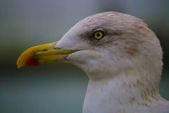 Anda-stirrig Seagull Royaltyfri Bild