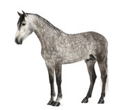 Andalou, 7 années, également connues sous le nom de cheval espagnol pur Photographie stock