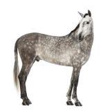 Andalou, 7 années, regardant en arrière, également connues sous le nom de cheval espagnol pur ou PRÉ Images stock