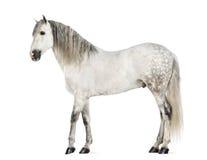 Andalou mâle, 7 années, également connus sous le nom de cheval espagnol pur ou PRÉ photos stock