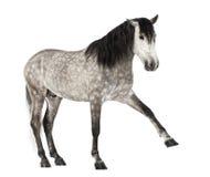 Andalou soulevant la patte avant, 7 années, également connues sous le nom de cheval espagnol pur ou PRÉ Photo libre de droits