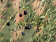 andalucia olivgrön Arkivfoton