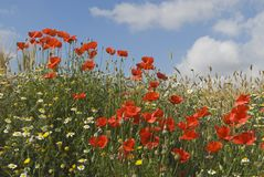Andalucia, Spain; Red Poppies With Spring Flowers Stock Photos