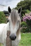 andalucian häst arkivfoto