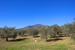 Andalucian olive groves and distant mountain Stock Image