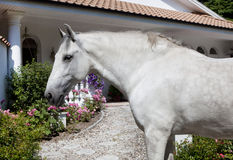 Andalusia Horse in the garden Stock Image