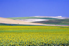 Andalusia landscape. Hill with sunflowers near Siviglia Stock Photo