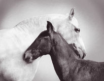 Andalusia mare with foal. White andalusia mare is closely entwined next to her foal Stock Images