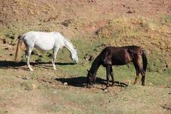 Andalusian лошади на выгоне Стоковые Изображения