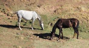 Andalusian лошади на выгоне Стоковые Фото