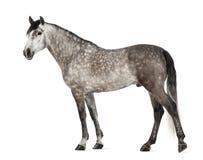 Andalusian, 7 лет старых, также известный как чисто испанская лошадь Стоковые Фотографии RF