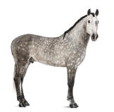 Andalusian, 7 anos velho, igualmente conhecido como o cavalo espanhol puro ou PRE Imagens de Stock
