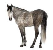 Andalusian, 7 anos velho, olhando a câmera, igualmente conhecida como o cavalo espanhol puro Imagem de Stock Royalty Free
