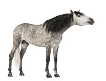 Andalusian 7 gammala år, dess sträckning hånglar, också bekant som den rena spanska hästen Arkivfoton