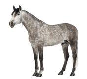 Andalusian 7 gammala år, också som är bekant som den rena spanska hästen Royaltyfri Bild