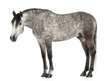 Andalusian, 7 Jahre alt, alias das reine spanische Pferd Lizenzfreie Stockbilder
