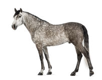 Andalusian, 7 years old, also known as the Pure Spanish Horse Royalty Free Stock Photos