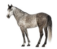 Andalusian, 7 years old, also known as the Pure Spanish Horse Stock Photos