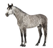 Andalusian, 7 years old, also known as the Pure Spanish Horse Royalty Free Stock Image