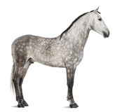 Andalusian, 7 years old, also known as the Pure Spanish Horse or PRE Royalty Free Stock Images