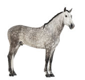 Andalusian, 7 years old, also known as the Pure Spanish Horse or PRE Royalty Free Stock Photos
