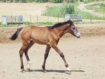Andalusian foal in  paddock Stock Images