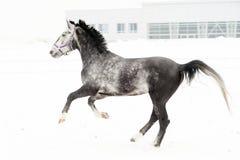 Andalusian fullblodgrå färghäst i vinterfält i rörelse på bakgrunden av det mångfärgade horisontal för barnkammare arkivfoton
