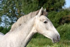 Andalusian gray young horse portrait in summer Stock Photos