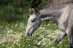 Andalusian gray young horse portrait in summer Royalty Free Stock Photo