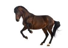 andalusian häst Fotografering för Bildbyråer