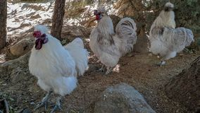 Andalusian hens in procession stock photos
